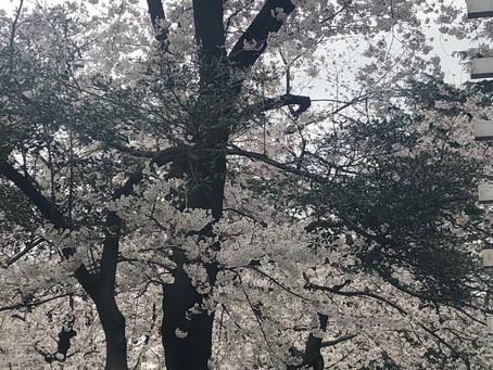 桜はいいですね