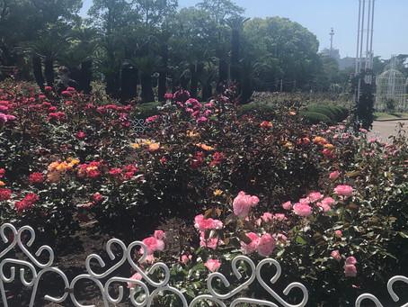 【薔薇】薔薇が好き