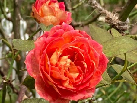 【薔薇】リバプールエコー