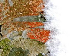 冬橅『地衣紅状』