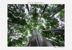 ブナと桂の巨樹