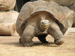 Phoenix-Zoo-Turtle