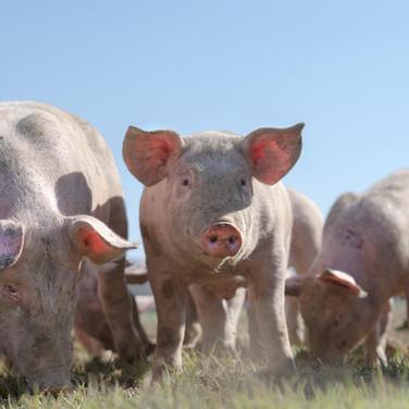 Pigs field.jpg