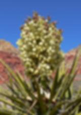 Yucca_schidigera_29.jpg