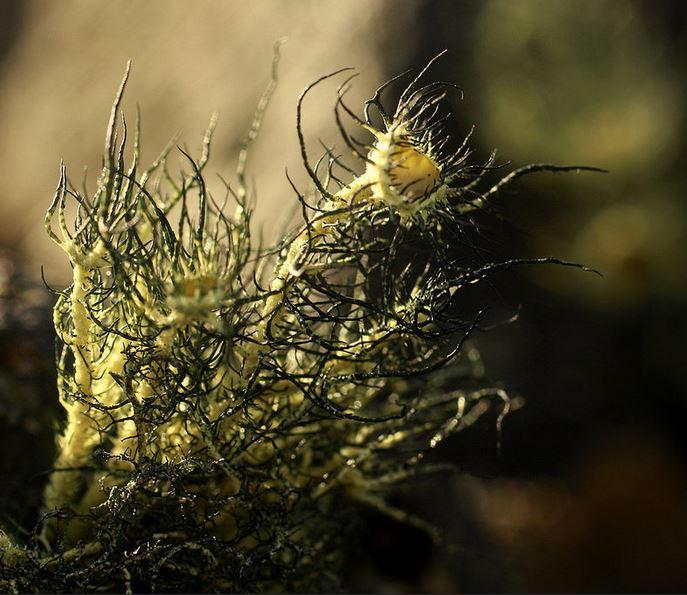 Usnea sulphurea