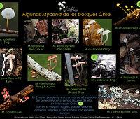 Mycena en Chile.jpg