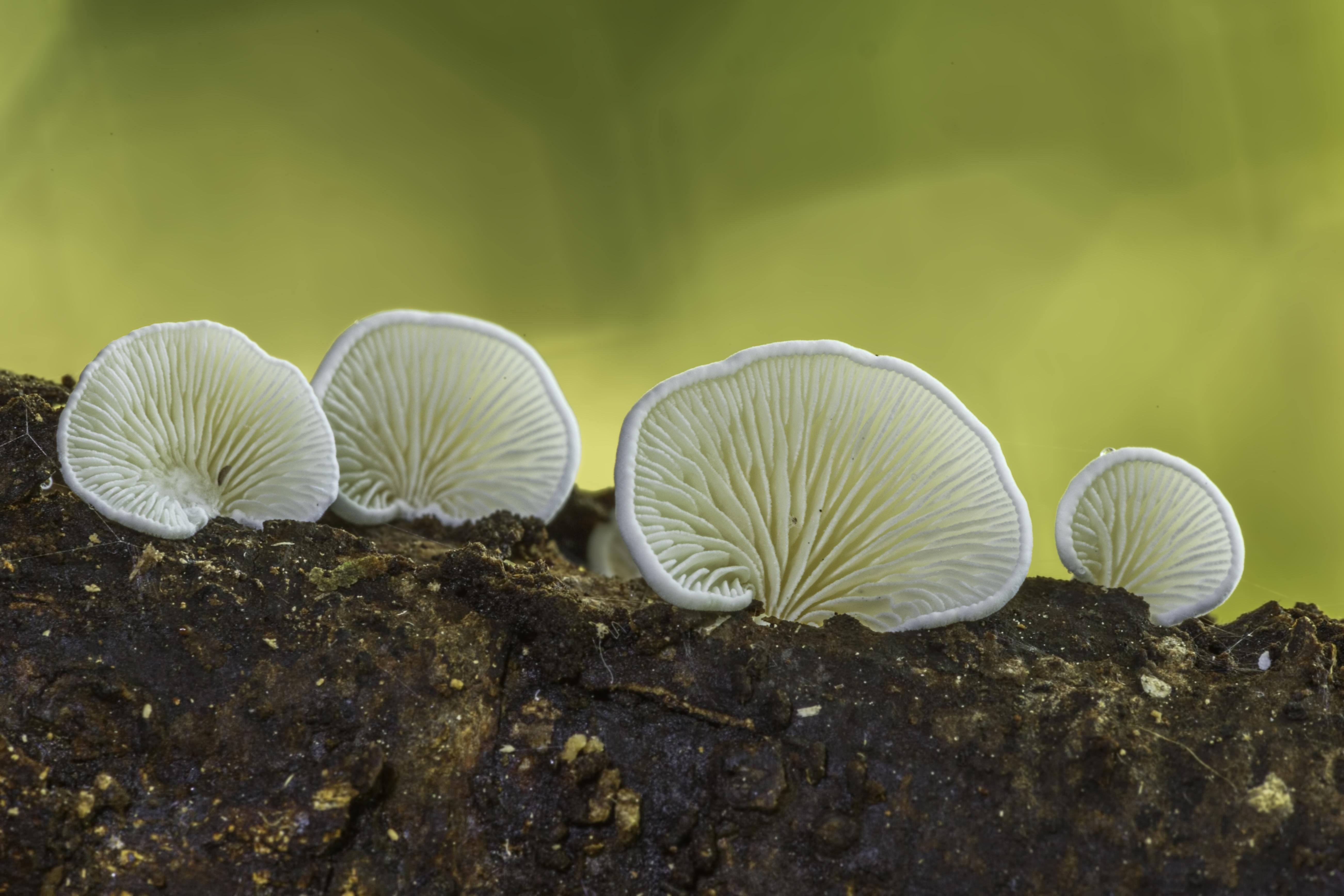 Crepidotus sp.