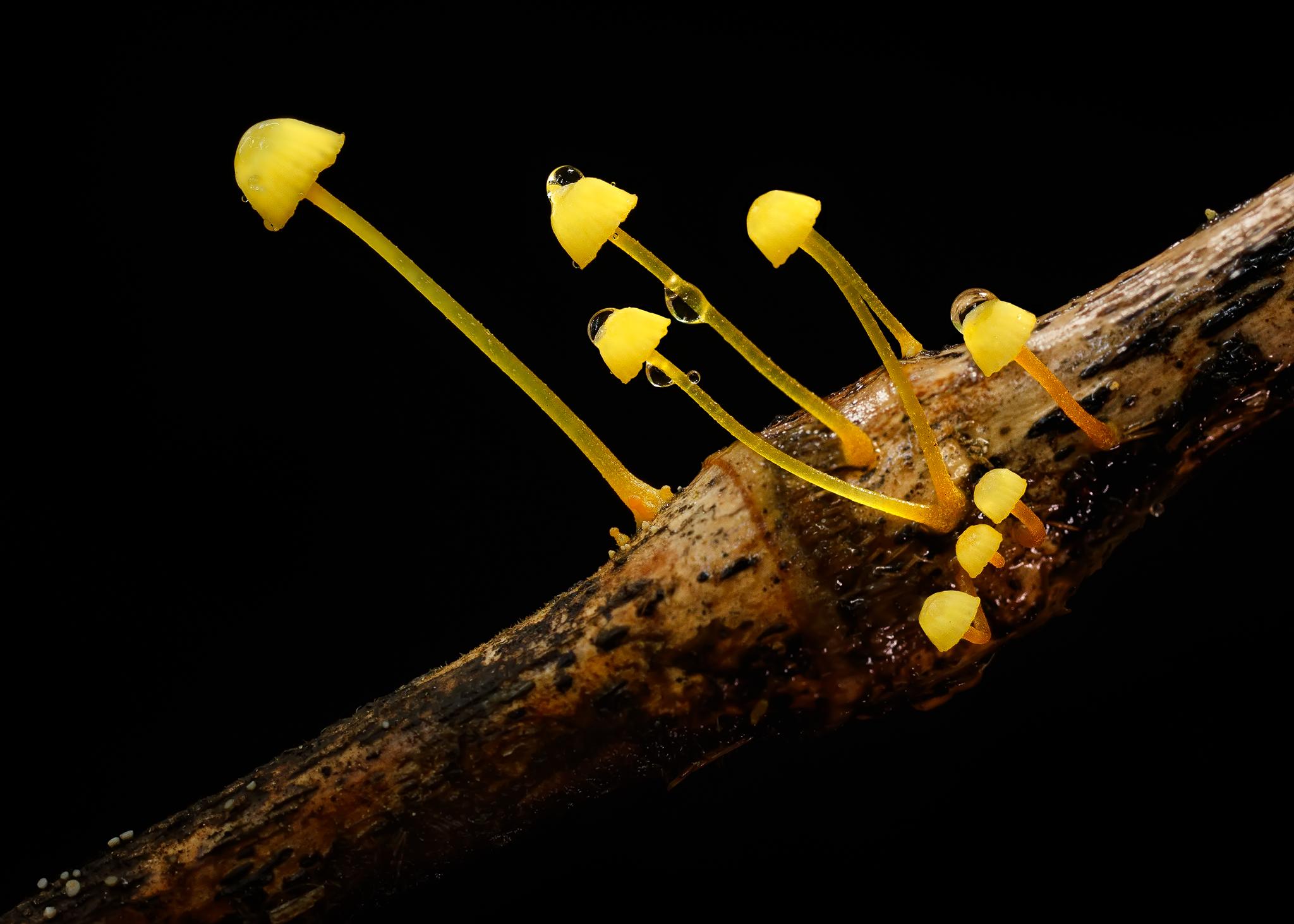 Mycena chusqueophila