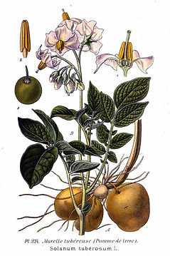 234_Solanum_tuberosum_L.jpg