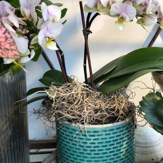 Mini Orchid 12