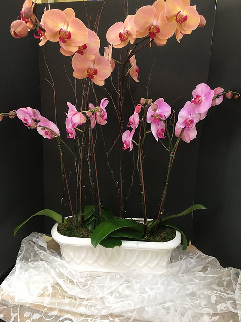 Three orchids in traditional white container