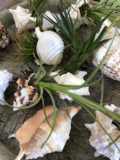 Air plants in seashells