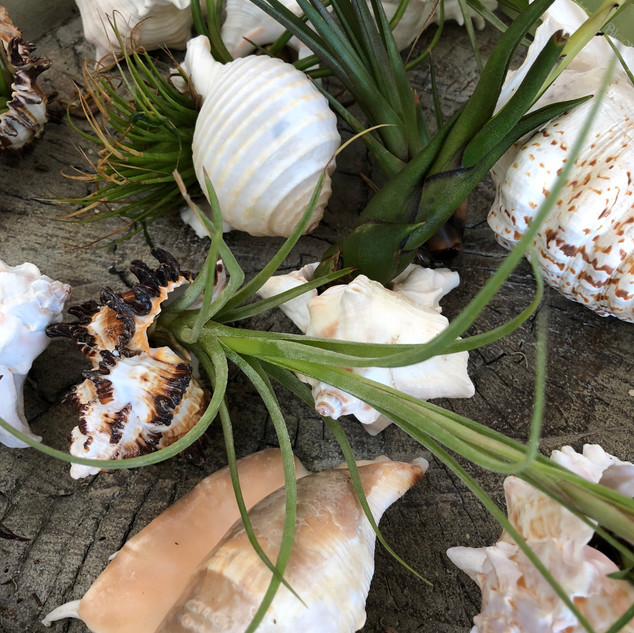 Airplant Seashells