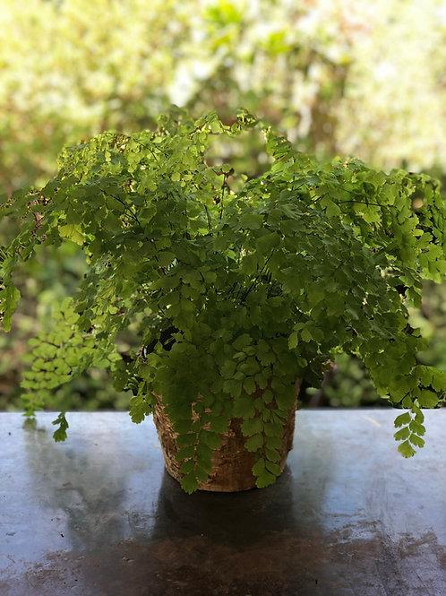 Maiden hair fern