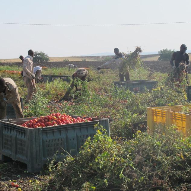 Raccoglitori di pomodoro (Basilicata)