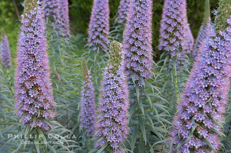 Echium Oil ~  8 oz ~ Sourced from Canada ~