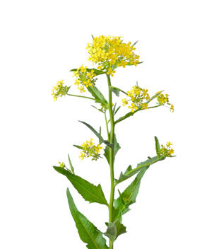 Camelina Oil ~ Virgin ~  16 oz ~ Sourced from Canada ~