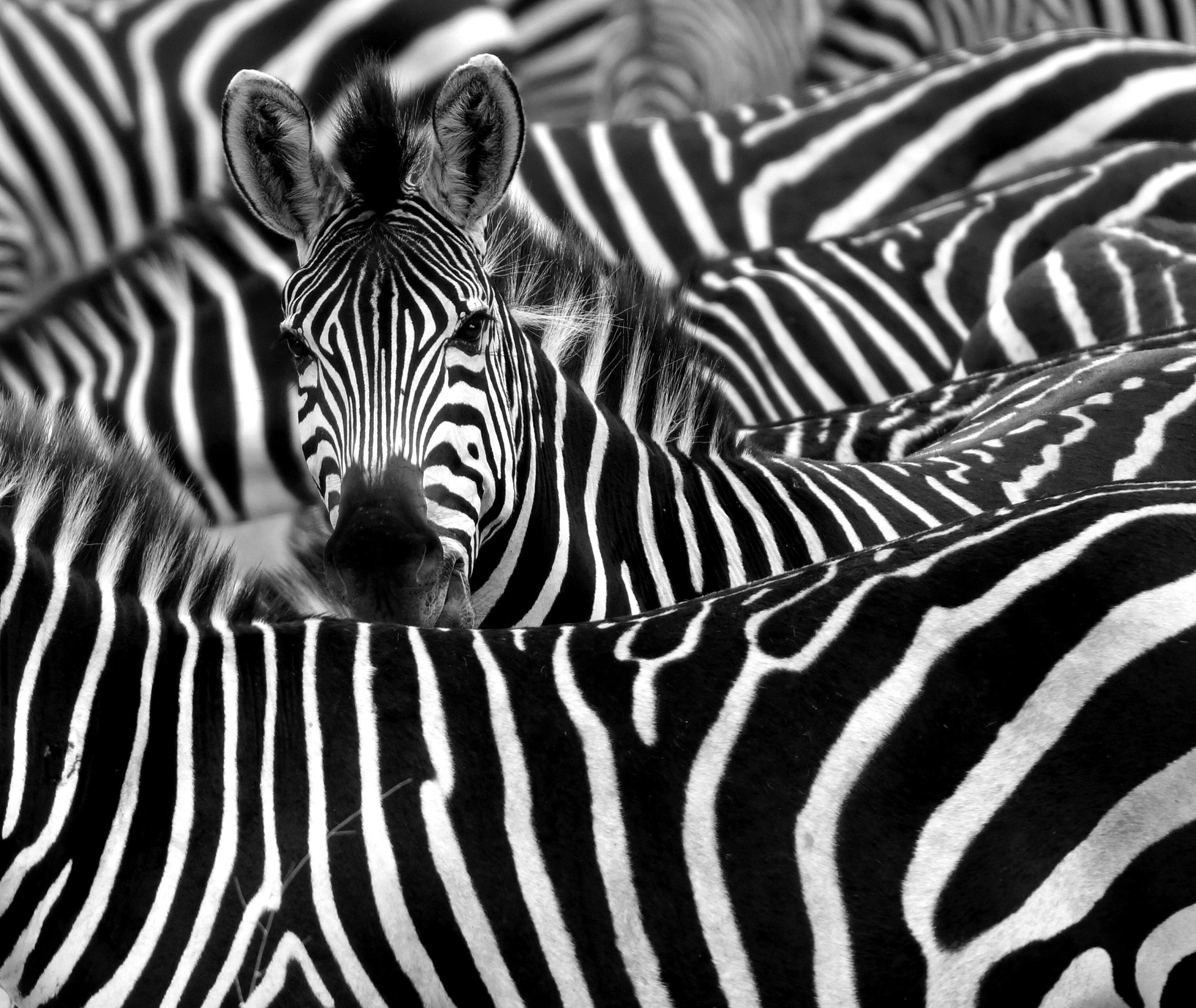 zebra, safari, afrika