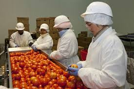 workers examining tomatoes in a factory