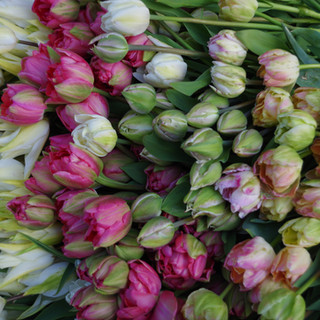 Recolte de tulipes
