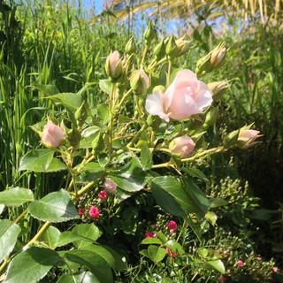 Rose Pastella