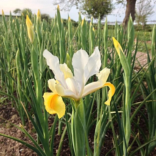 Iris Apollo