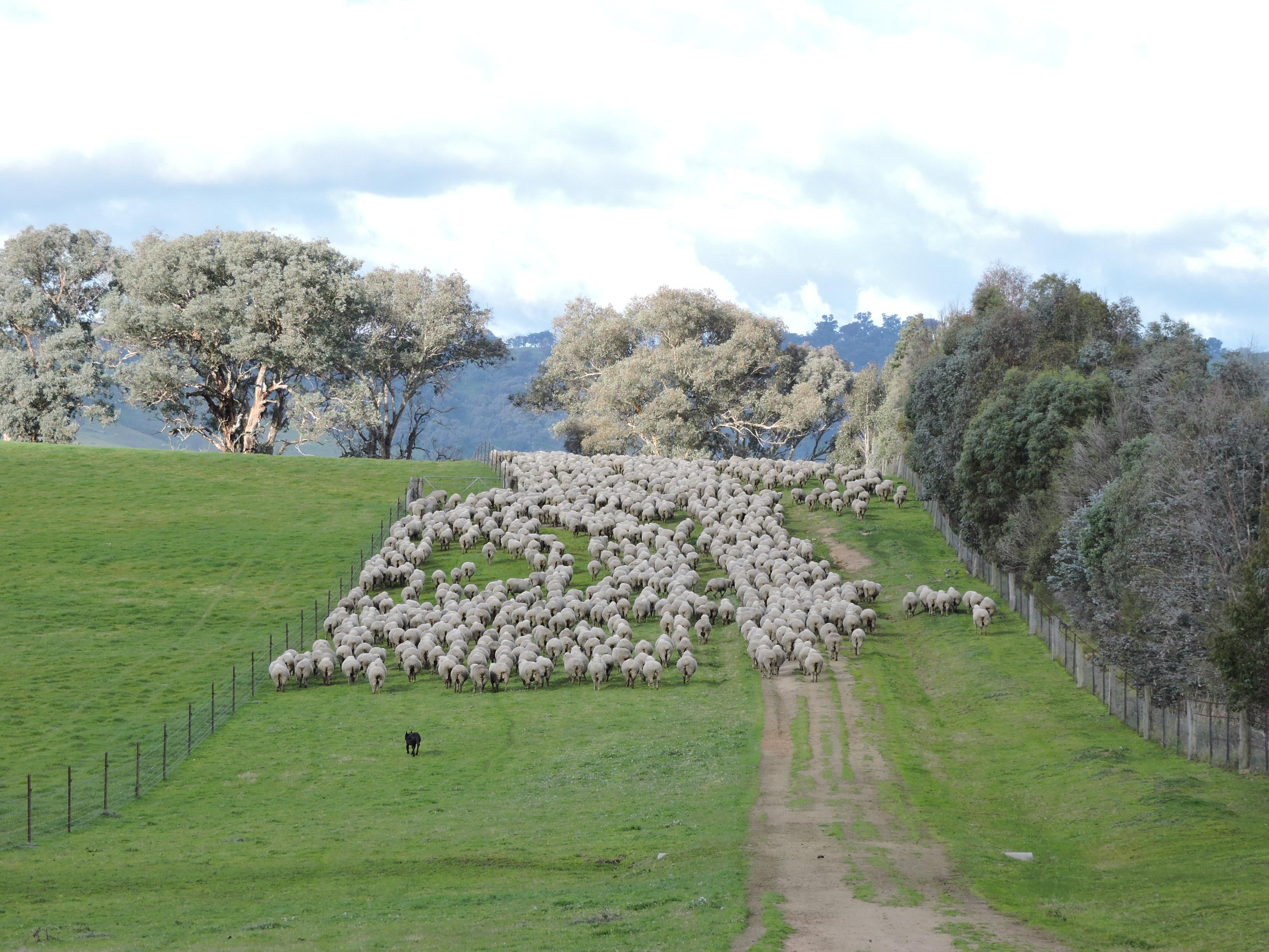 Moving sheep down laneway