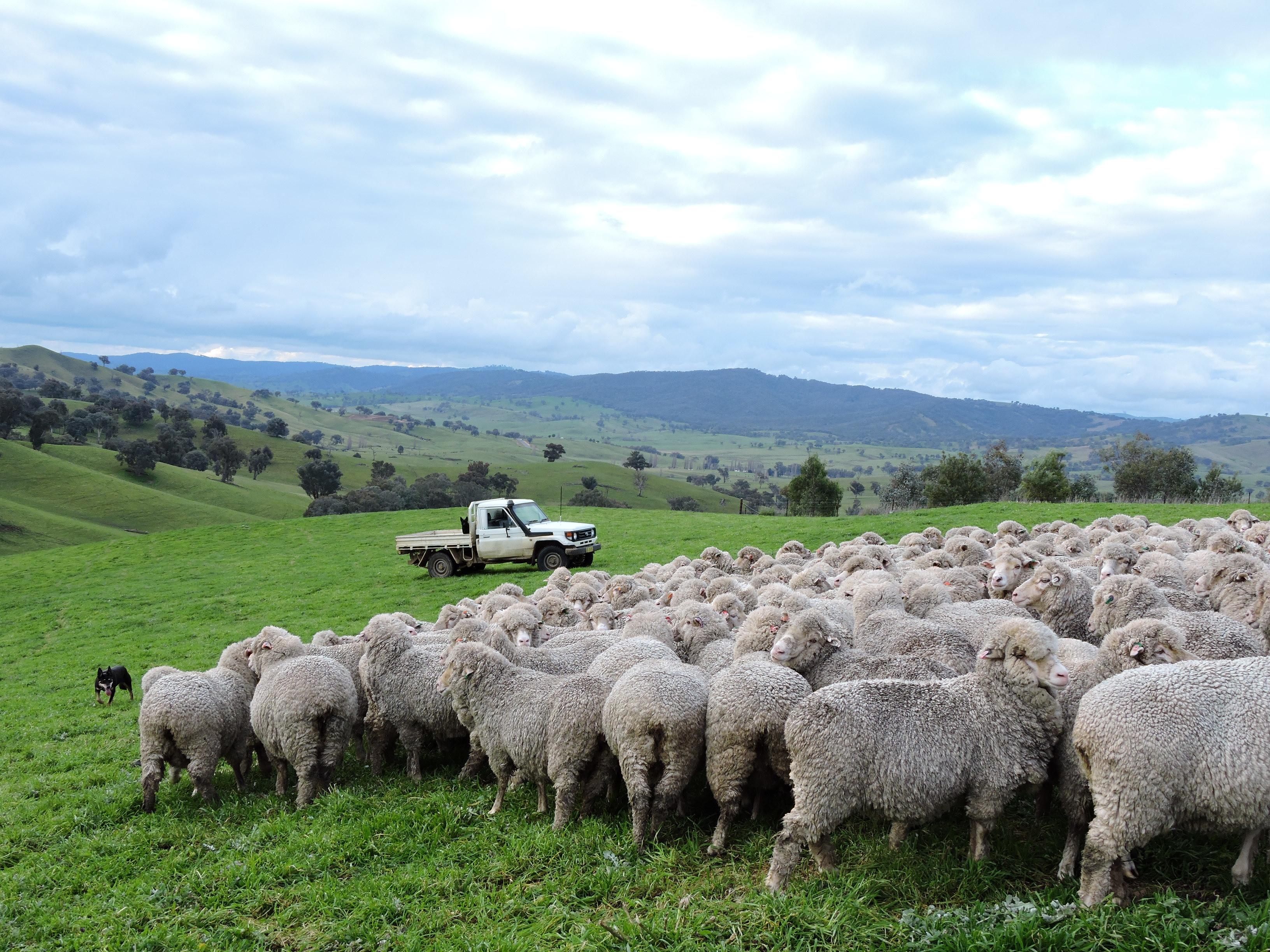 Mustering sheep