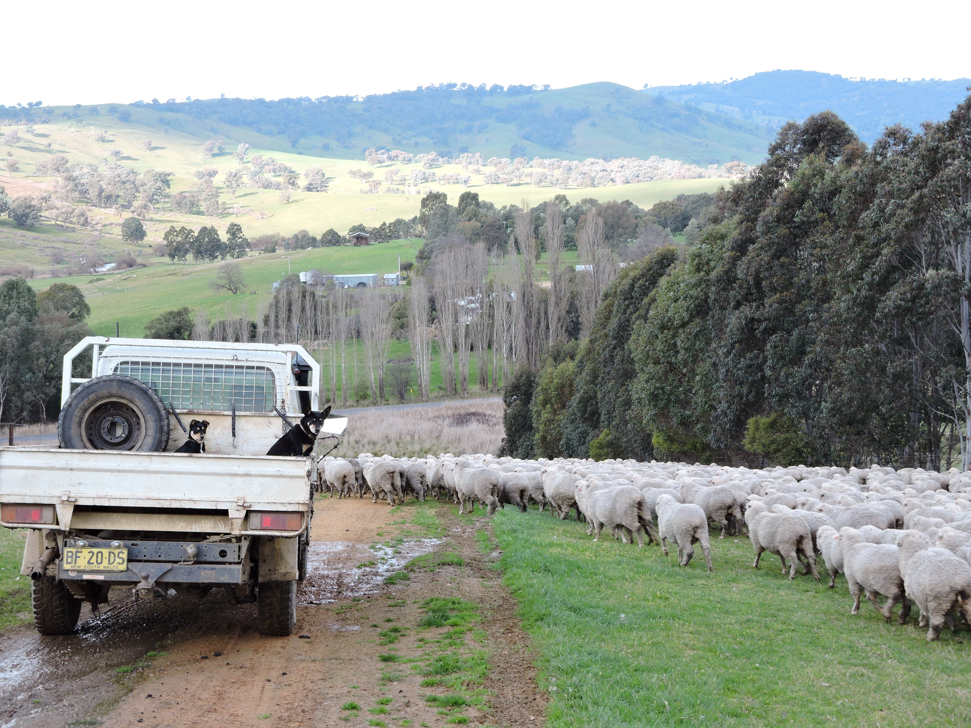 Moving sheep through laneway system