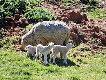 newborn merino lambs
