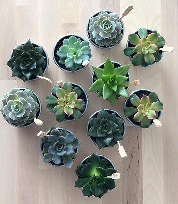 Succulent (Echeveria) Assorted with Tin