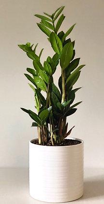 ZZ Plant with Pot