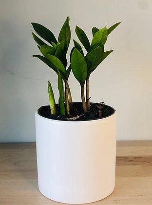 ZZ Plant (Small)
