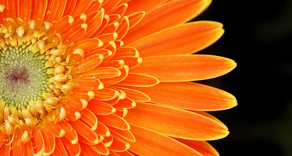 34 gerbera orange slice.JPG