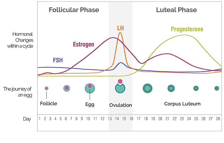 Hormonal Change in Menstrual Cycle.png