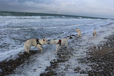 Weisse Schäferhunde von Geriths Hofen