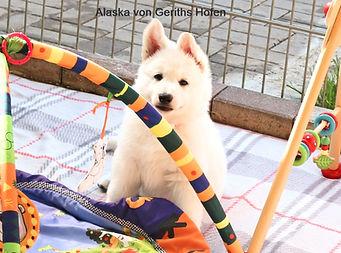 Alaska von Geriths Hofen Welpe weisser Schaeferhund