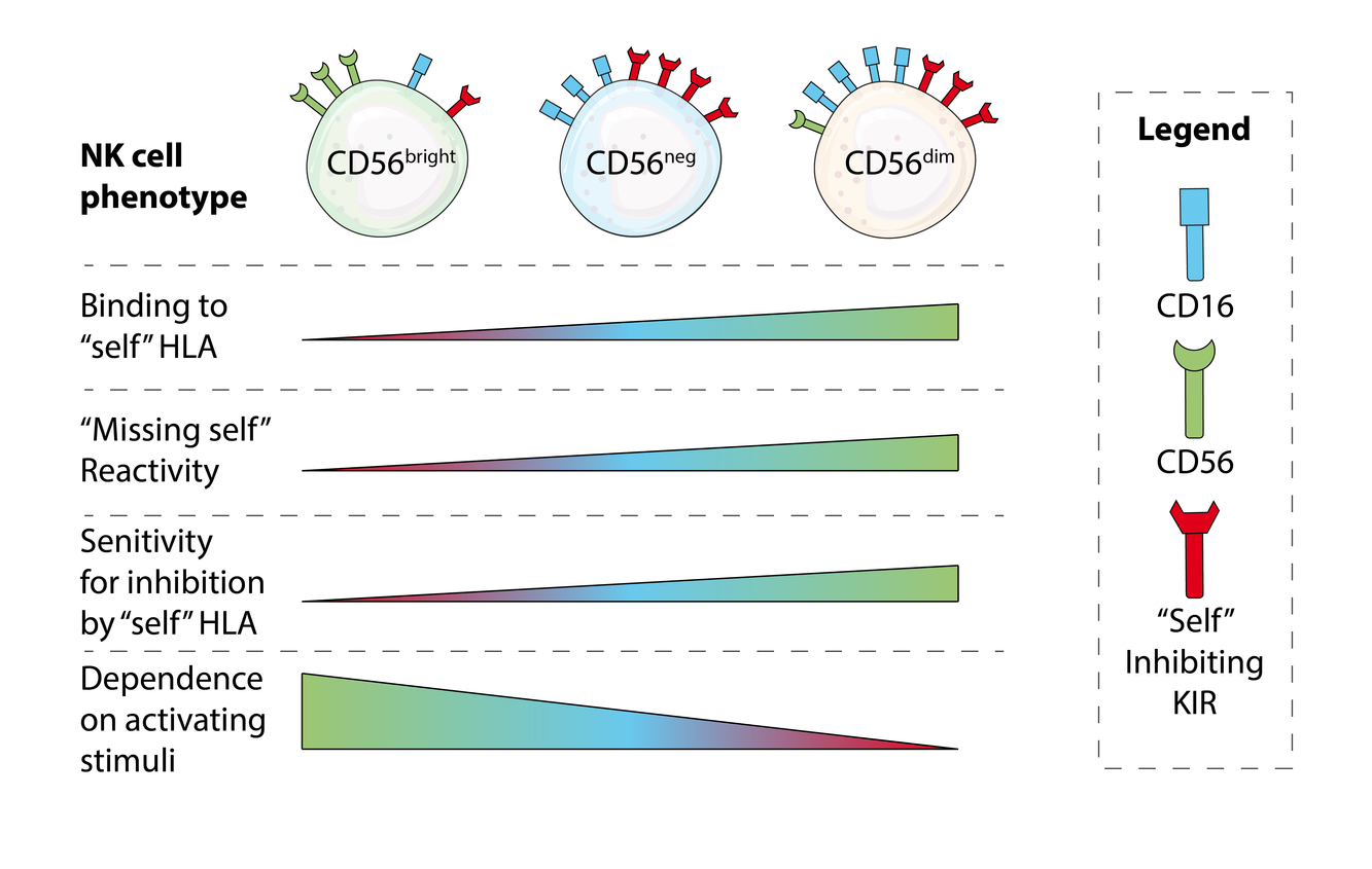 The Evolutionary Arms Race between Virus and NK Cells: Diversity Enables Population-Level Virus Control