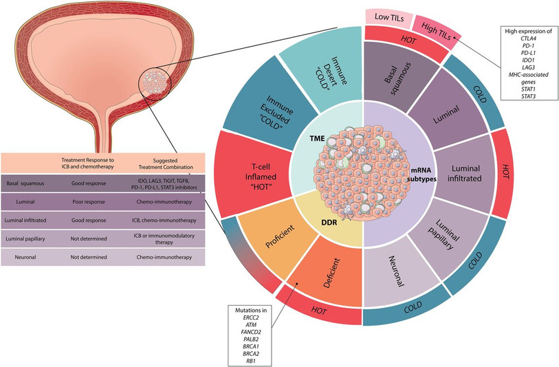 DNA damage repair gene mutations and their association with tumor immune regulatory gene expression in muscle invasive bladder cancer subtypes