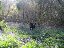 Walking in the Bluebell Wood