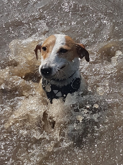 Ted, the Jack Russell Terrier