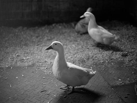 Barn Ducks