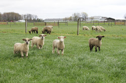 Sheep_Wooster7