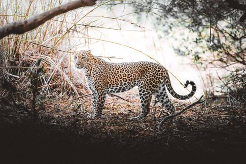 Norris Niman outdoor wildlife photos Wix leopard