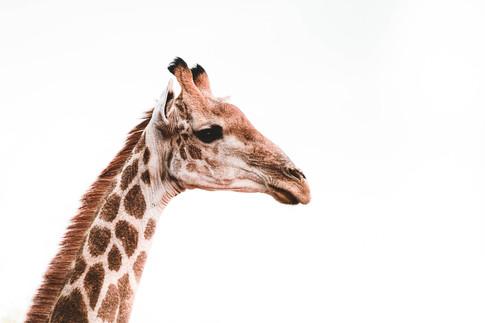 Norris Niman outdoor wildlife photos Wix giraffe simple