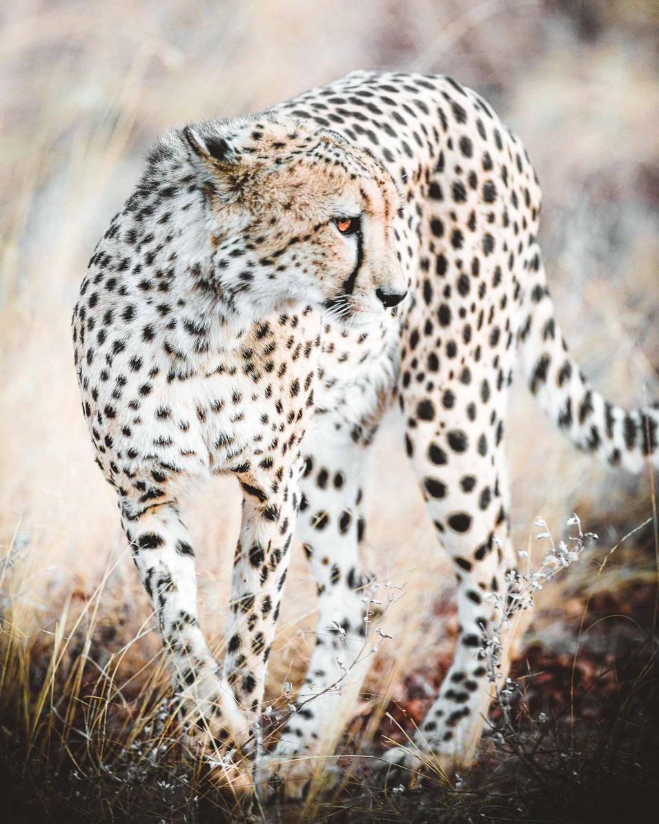 Norris Niman outdoor wildlife photos Wix cheetah