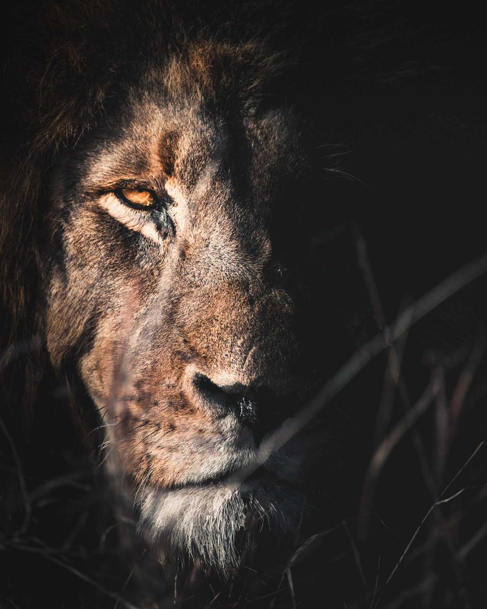Norris Niman outdoor wildlife lion portrait