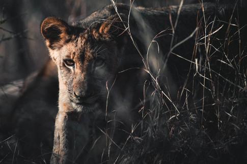 Norris Niman outdoor wildlife photos Wix lion