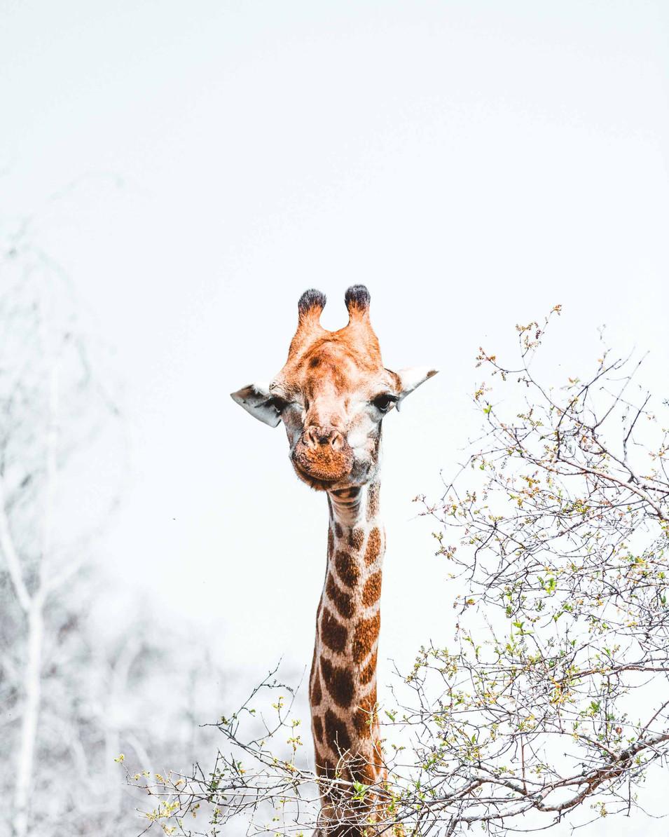Norris Niman outdoor wildlife photos Wix giraffe portrait
