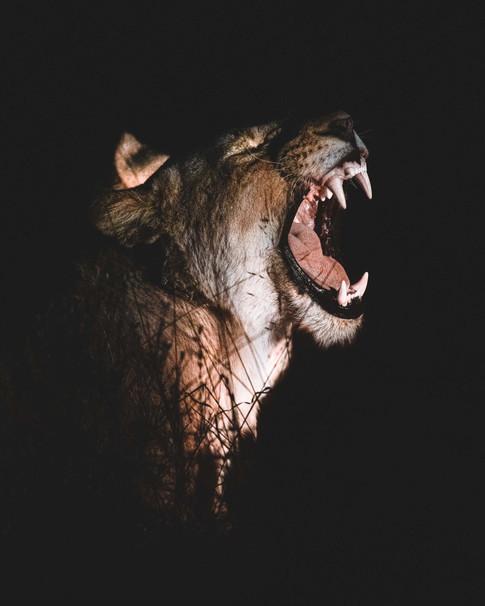 Norris Niman outdoor wildlife photos Wix lion night